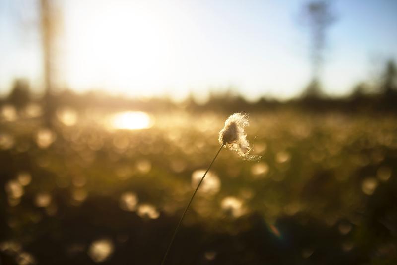 Kesäisen aurinkoinen suomaisemakuva, jossa kamera on tarkentunut yksittäiseen tupasvillaan ja muu kullanruskea tausta näkyy sumuisena taustalla.